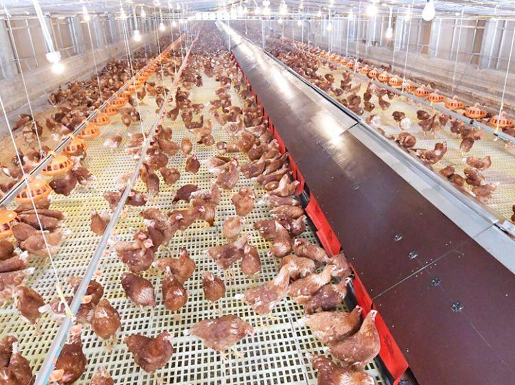 ซีพีเอฟ หนุนกรมปศุสัตว์ยกร่างมาตรฐานฟาร์มไก่ไข่