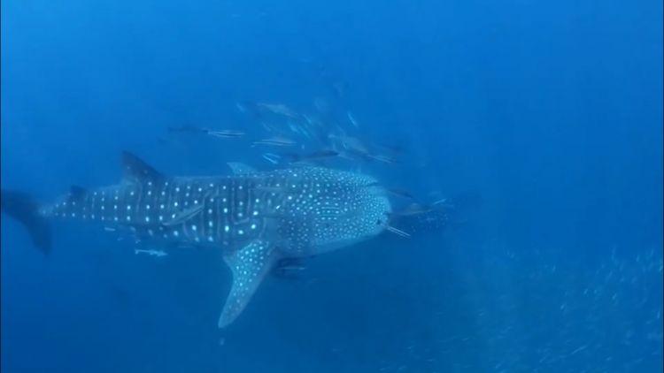 นักดำน้ำตื่นเต้น พบฉลามวาฬยักษ์ 1 คู่ที่เกาะพีพี