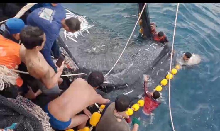 เรือประมงสตูล ช่วยฉลามวาฬ 3 ตัว ติดอวนที่กระบี่ กลับสู่ทะเล