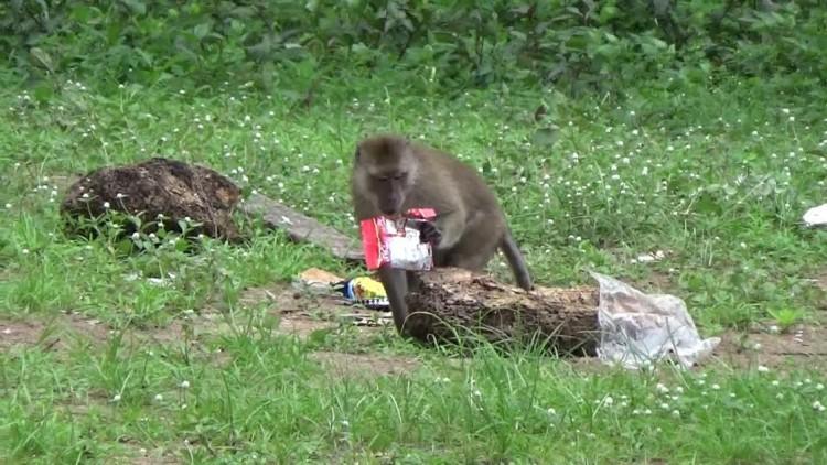ฝูงลิงเจอวิกฤติโควิด-19 อพยพย้ายชายหาด ป่วนร้านค้า-นักท่องเที่ยว